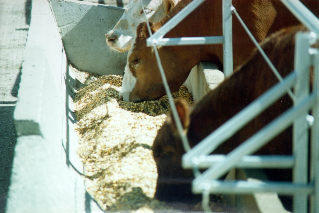 CRF beef cattle feedlot research